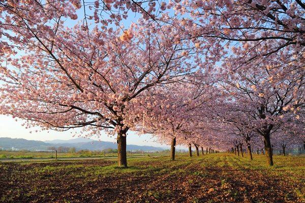 小布施 千曲川堤防 桜堤の八重桜