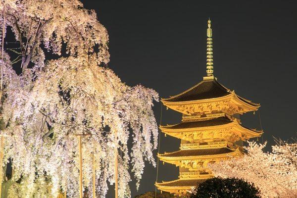 京都 東寺 夜桜ライトアップ