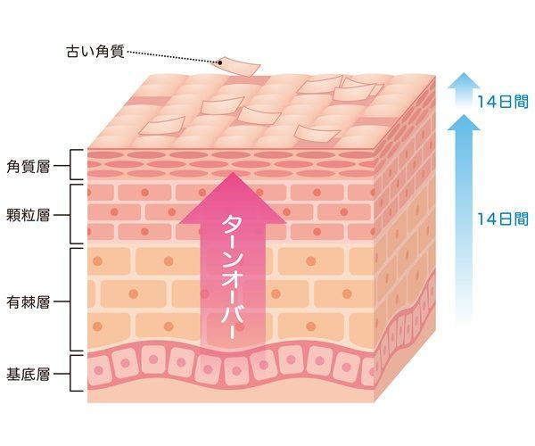 肌のターンオーバー 断面図