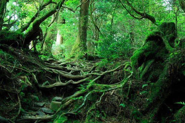 屋久島 原生林